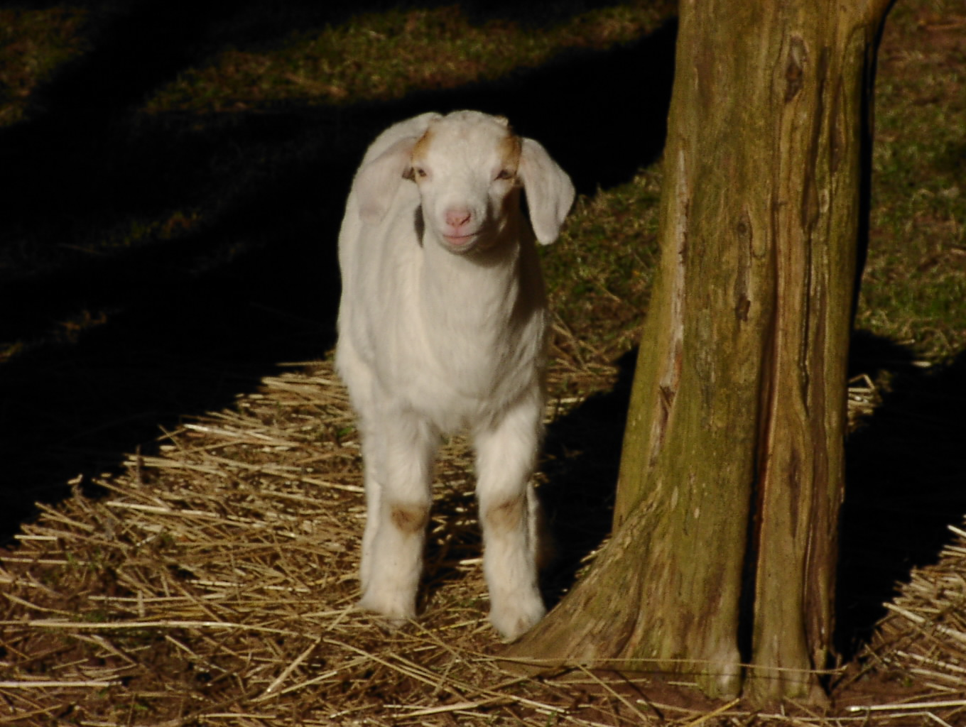 CountryTime Pony Rides - Mini Goat - Little Ricky